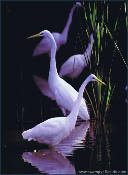 2013-0809-GreaEgrets-Everglaes