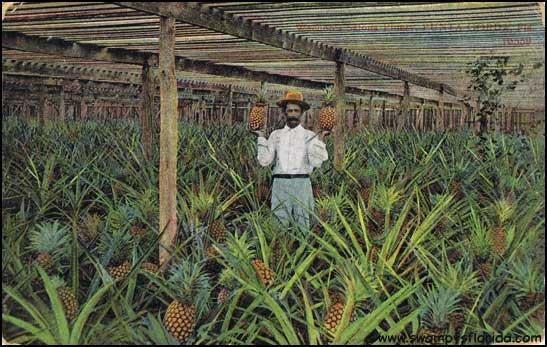 2013-1005-Pineapples