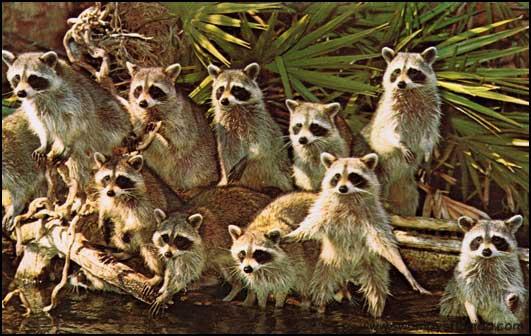 2014-0517-Raccoons