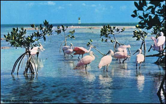 2014-0522-RoseateSpoonbills-Everglades