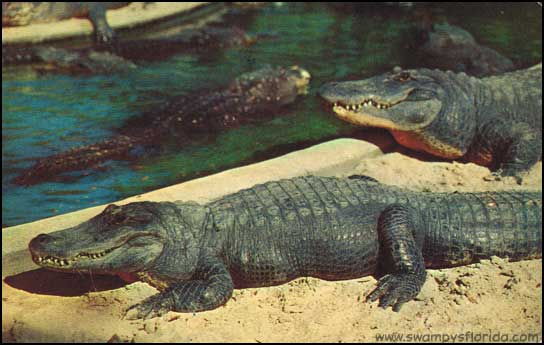 2015-0309-Postcards-Alligators